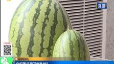 谣言粉碎机 白籽西瓜用了催熟剂?
