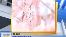 花季三月武汉樱花盛放