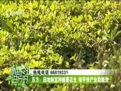 东方:因地制宜种植蔓花生 短平快产业助脱贫