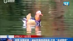 """美国 好美的鸭!神秘鸳鸯颜值爆表 引发""""全城围观"""""""