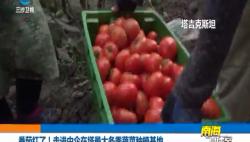 番茄红了!走进中企在塔最大冬季蔬菜种植基地