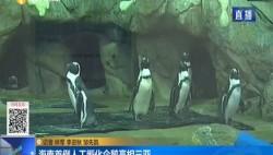 海南首例人工孵化企鹅亮相三亚