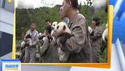 饲养员晒出熊猫仔 人手一只好软萌