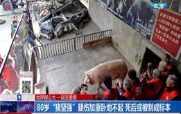 """80岁""""猪坚强""""腿伤加重卧地不起 死后或被制成标本"""