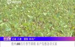 儋州:80万斤香芋滞销 农户发愁急寻买家