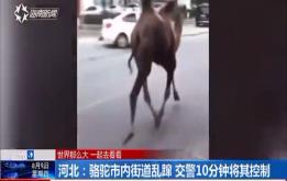 河北:骆驼市内街道乱蹿 交警10分钟将其控制