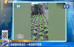 砖缝里种菜走红 一年四季不买菜