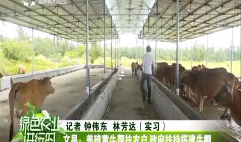 文昌:养殖黄牛帮扶农户 政府扶持搭建牛棚