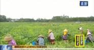 临高:千亩毛豆喜获丰收 农民增收致富采摘忙