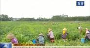 临高千亩毛豆喜获丰收 农民增收致富采摘忙