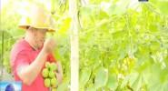 文昌:喜迎农民丰收节蔬菜丰收采摘忙
