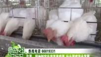 屯昌:因地制宜生产温泉鸡蛋 壮大蛋鸡产业发展