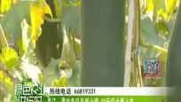 昌江:黑皮冬瓜品质上乘 20天后大量上市