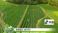 琼海:辣椒丰收 预计每亩收入5000元