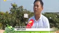 海南農墾紅明荔海共享農莊:采摘認購模式多 全方位促進紅明紅荔枝銷售