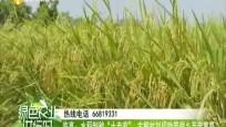 """临高:水稻制种""""土专家"""" 古柳村刘招助带领乡亲奔富路"""