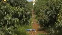 红明红荔枝:预计5月初上市 种植标准严格确保果品