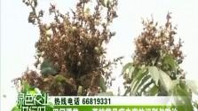 田间课堂-荔枝常见病虫害的识别与防治