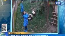 """大熊猫""""挂""""树上睡觉 像极了大家赖床的样子"""