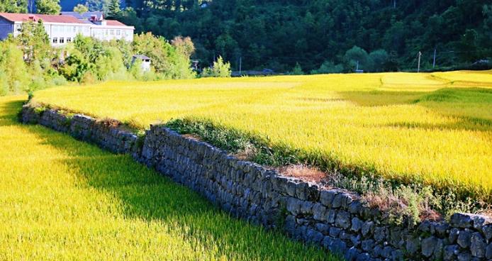 """中国农民丰收节丨湖北郧西:绿色""""冷水稻""""奏响""""金色""""丰收曲"""