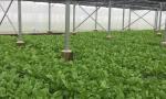 海口菜篮子蔬菜种植基地保持蔬菜待采量约50吨 保障连续降雨期间本地蔬菜供应