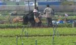 海口:叶菜价格指数保险 提振菜农生产信心