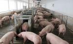 两部门发文 实施生猪规模化养殖场建设补助项目
