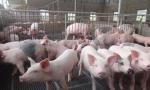 国务院办公厅印发《关于稳定生猪生产促进转型升级的意见》