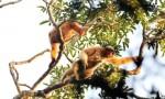 海南长臂猿保护取得成效 逐步脱离灭绝境地
