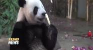 Panda Brother Celebrate 4th International Panda Day in Hainan