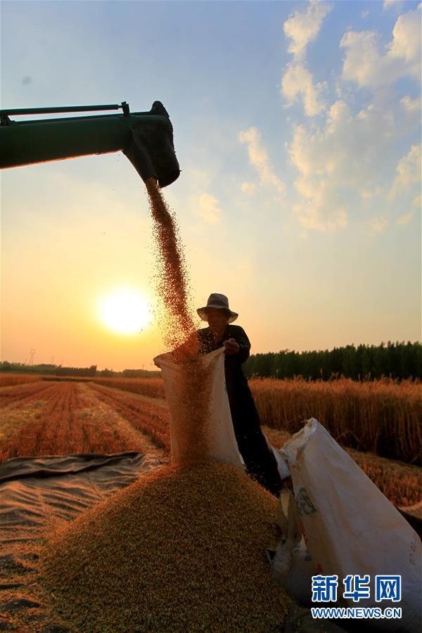 (聚焦中国经济亮点·图文互动)(6)夏粮收获近八成 丰收已成定局