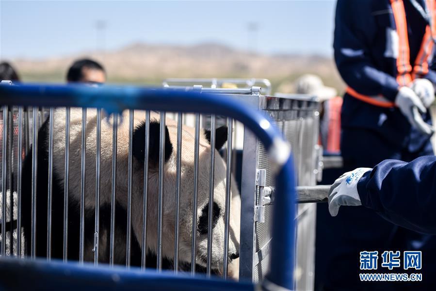 """(图文互动)(6)大熊猫首次""""落户""""高原城市西宁"""