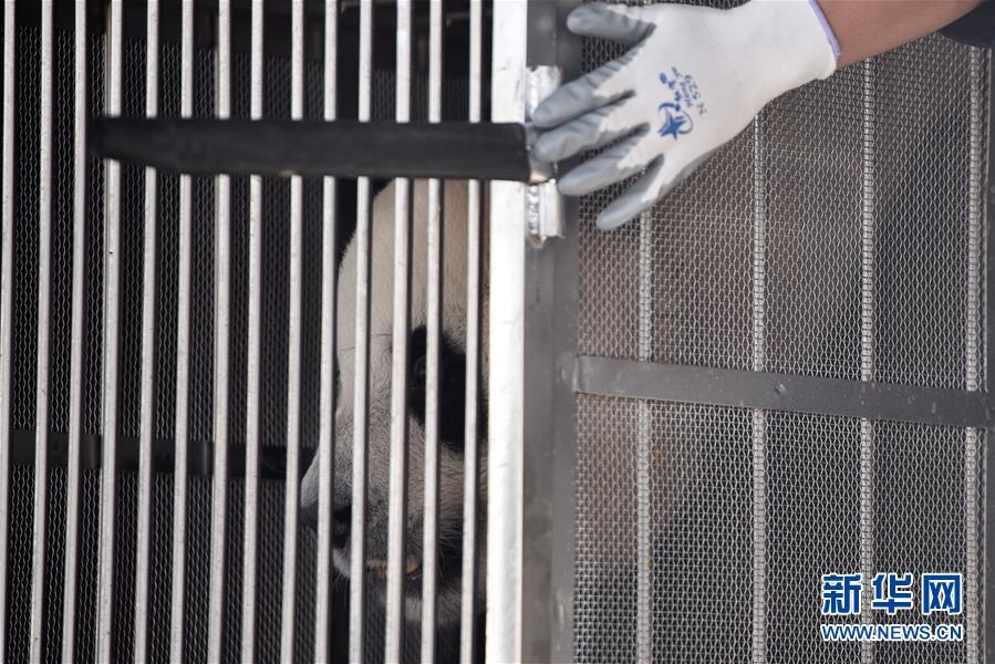 """(图文互动)(7)大熊猫首次""""落户""""高原城市西宁"""