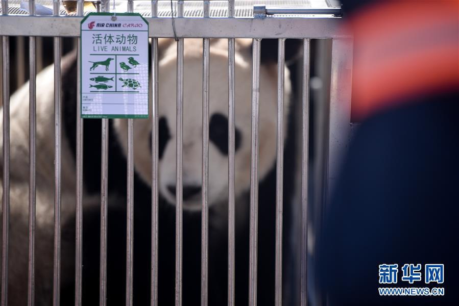 """(图文互动)(1)大熊猫首次""""落户""""高原城市西宁"""