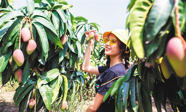 游客在陵水英州镇采摘芒果。 记者 武威 通讯员 胡阳 摄.jpg