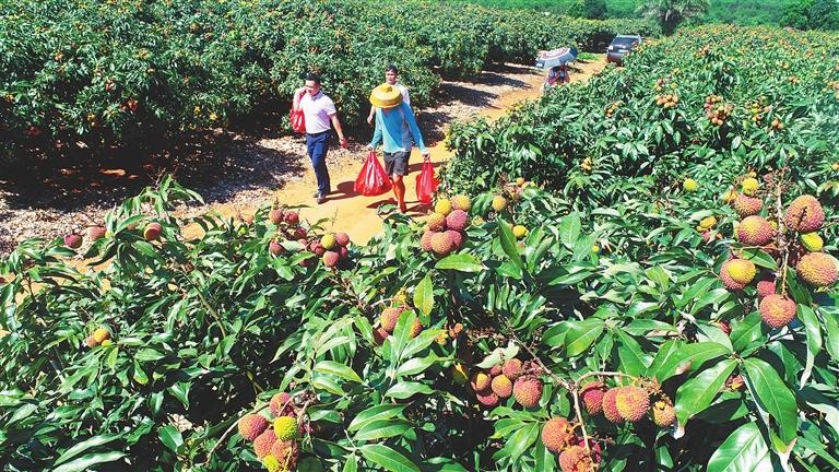 游客在澄迈华侨农场荔枝园采摘。记者 苏晓杰 通讯员 王家专 摄.jpg