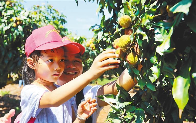 一对父女在荔枝园采摘荔枝。 记者 苏晓杰 通讯员 宋祥达 摄.jpg