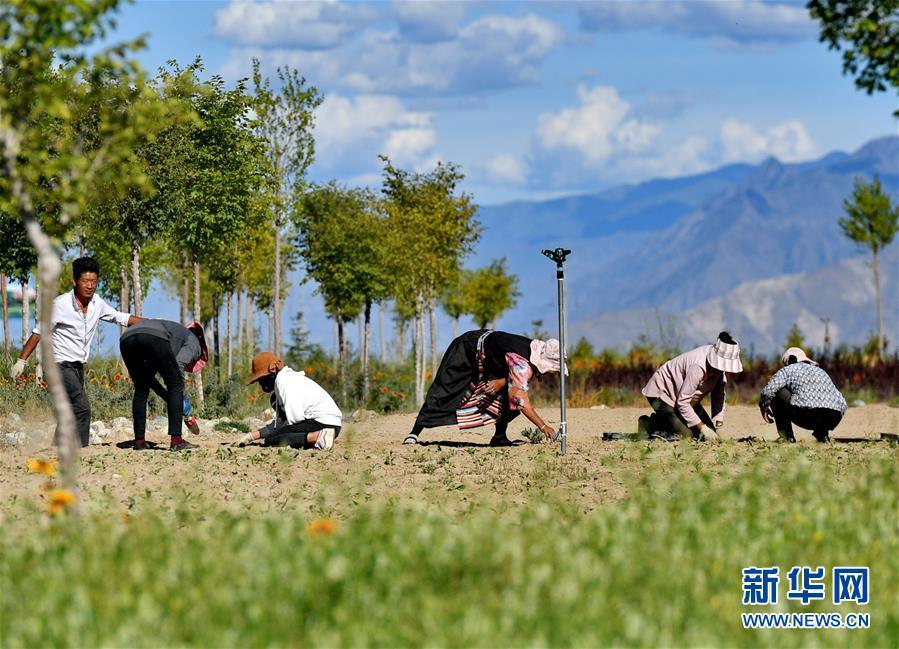 (决战决胜脱贫攻坚·图文互动)(5)荒漠变绿洲 穷乡变富地——雅鲁藏布江山南段40年造林治沙报告