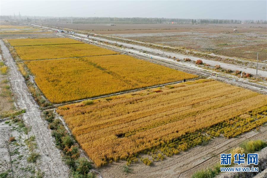 (图文互动)(2)海水稻在塔克拉玛干沙漠边缘测产 亩产546.74公斤