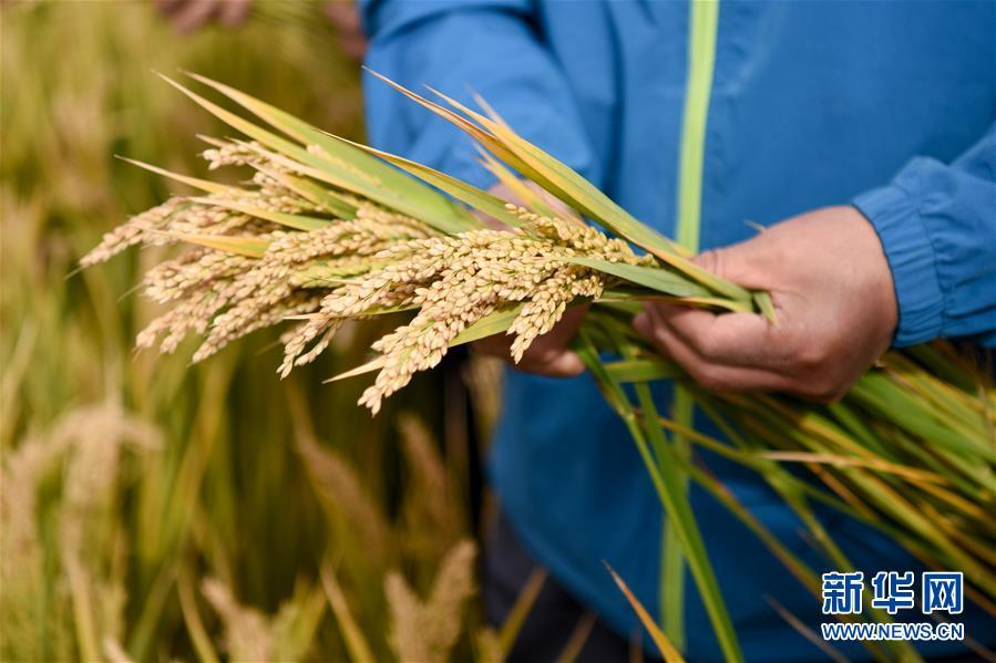 (图文互动)(3)海水稻在塔克拉玛干沙漠边缘测产 亩产546.74公斤