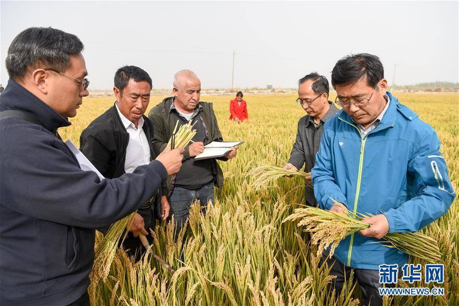(图文互动)(1)海水稻在塔克拉玛干沙漠边缘测产 亩产546.74公斤