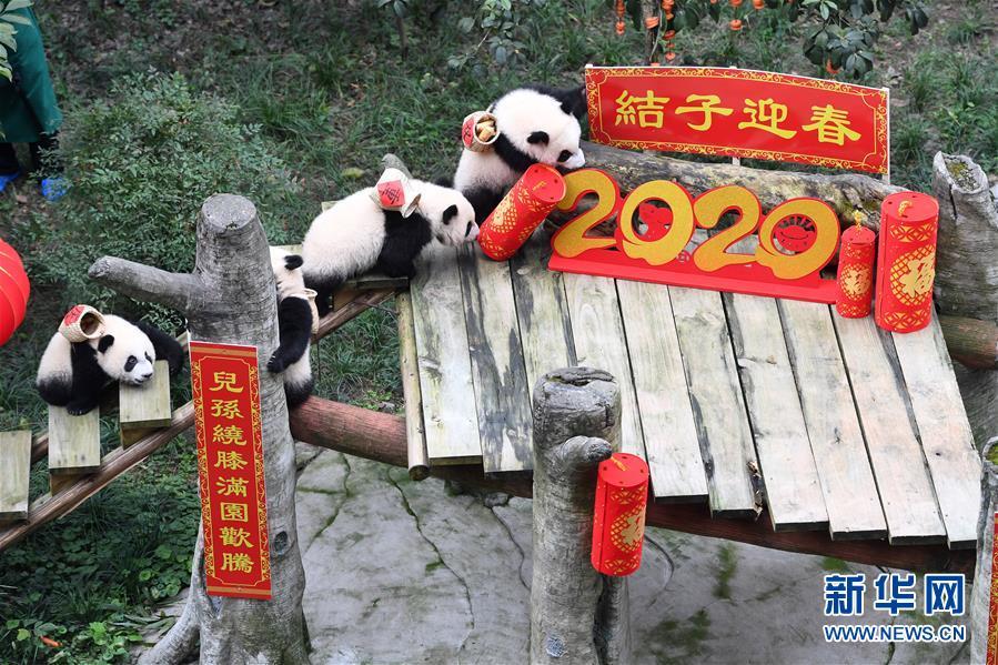 (社会)(9)大熊猫宝宝闹新春