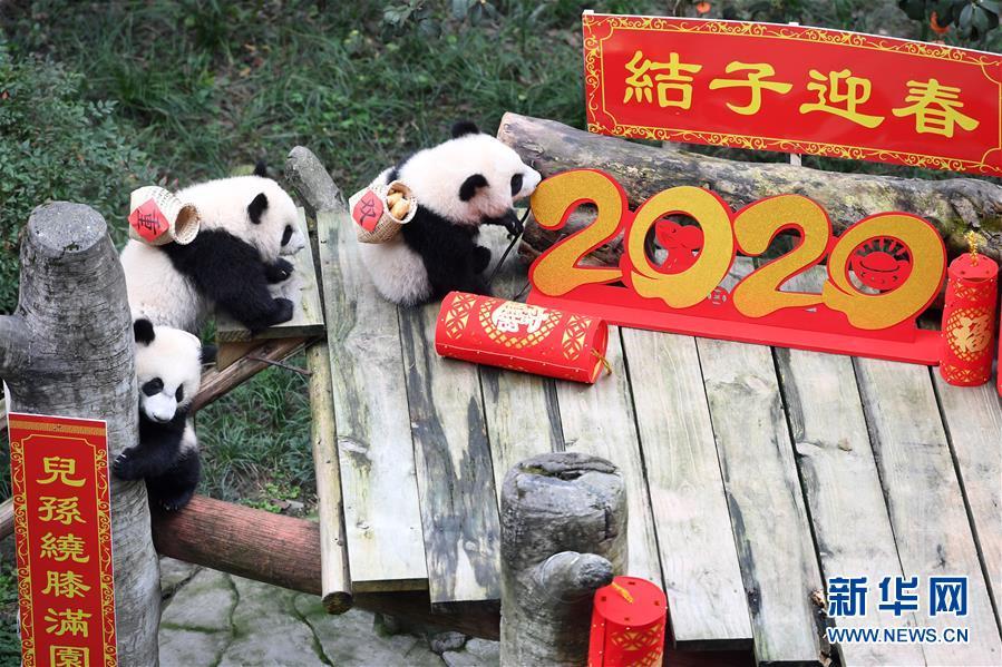(社会)(10)大熊猫宝宝闹新春