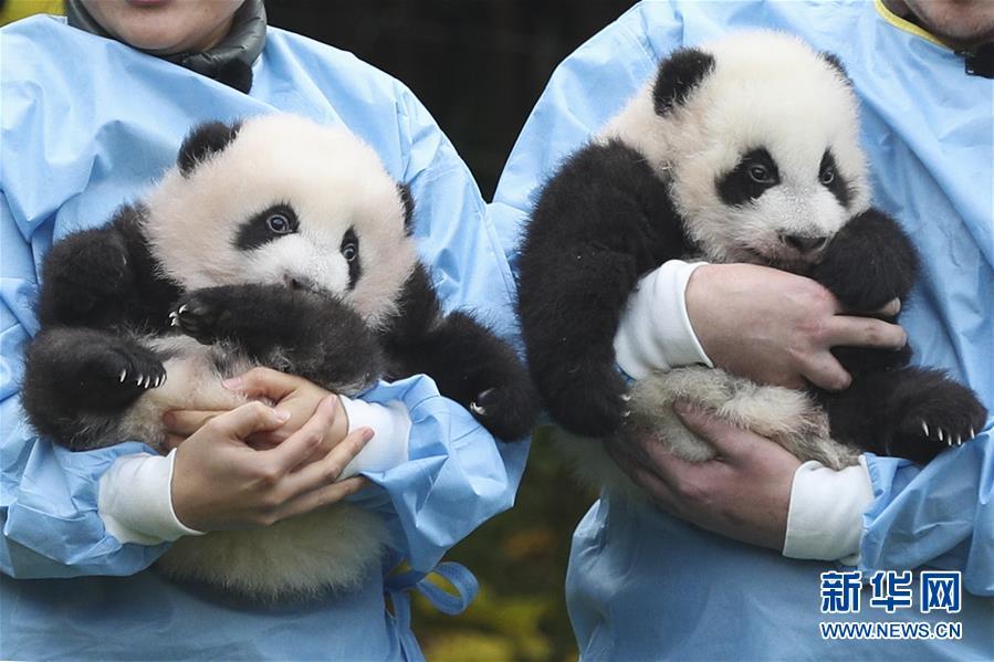 """(国际)(1)旅比大熊猫双胞胎获""""年度熊猫幼仔奖"""""""