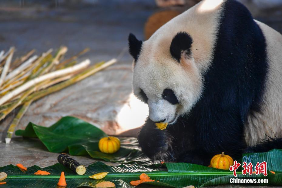 """海南大熊猫兄弟""""贡贡""""""""舜舜""""吃""""饺子""""过大年"""