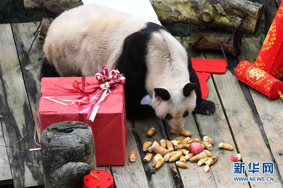(社会)(2)大熊猫宝宝闹新春