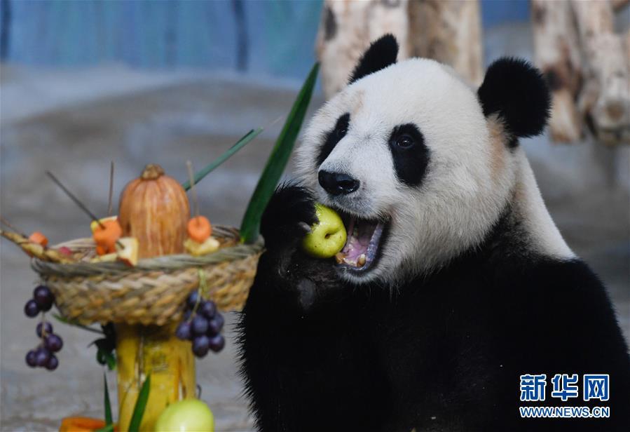 """(国际)(2)旅比大熊猫双胞胎获""""年度熊猫幼仔奖"""""""