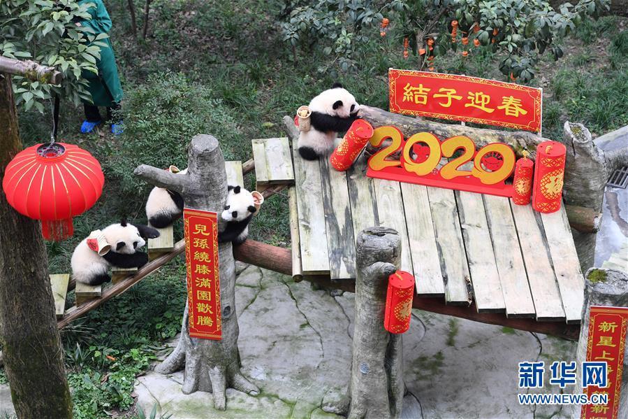 (社会)(8)大熊猫宝宝闹新春