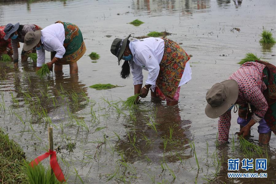 """(国际)(4)尼泊尔农民""""水稻节""""里忙插秧"""