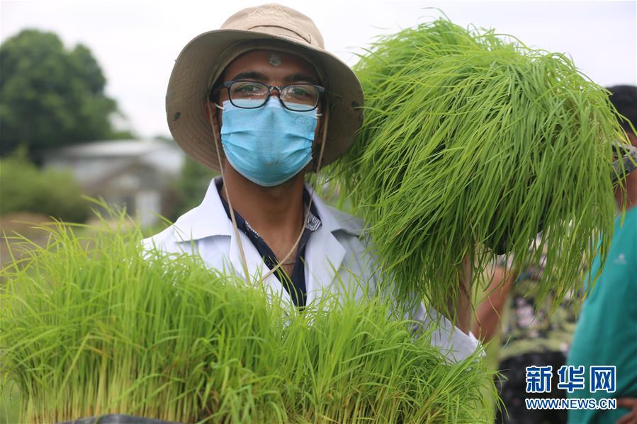 """(国际)(6)尼泊尔农民""""水稻节""""里忙插秧"""